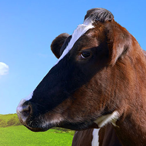 Livestock Oxidative Stress treatment